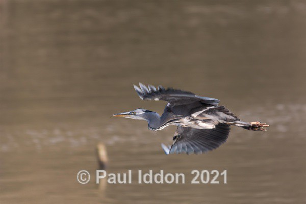Heron in Flight - Nature - Birds and Wildlife