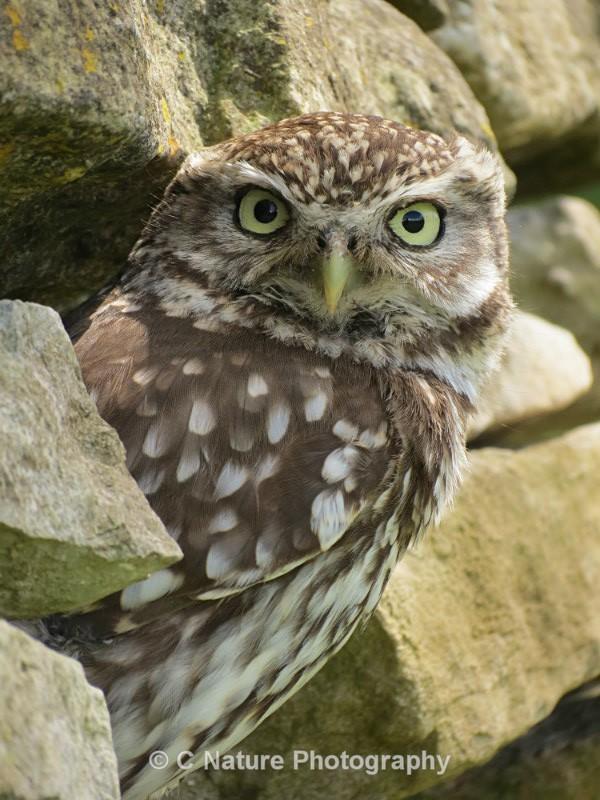 Ltttle Owl - Birds