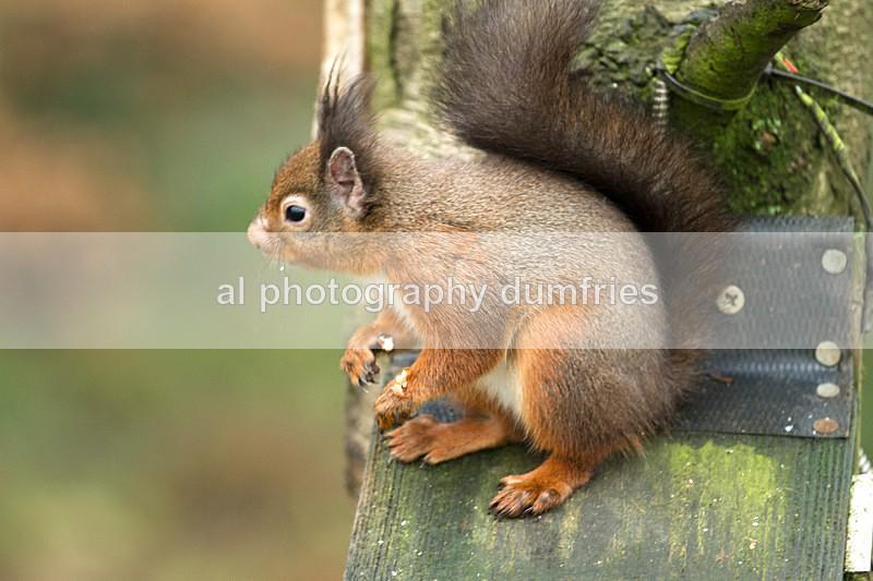 Red Squirrel 9 (disambiguation). - Eskrigg Nature Reserve Lockerbie