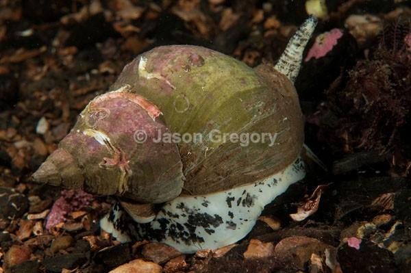 Buccinum undatum - Sea Snails, Bivalves & Lamp Shells (Mollusca etc)