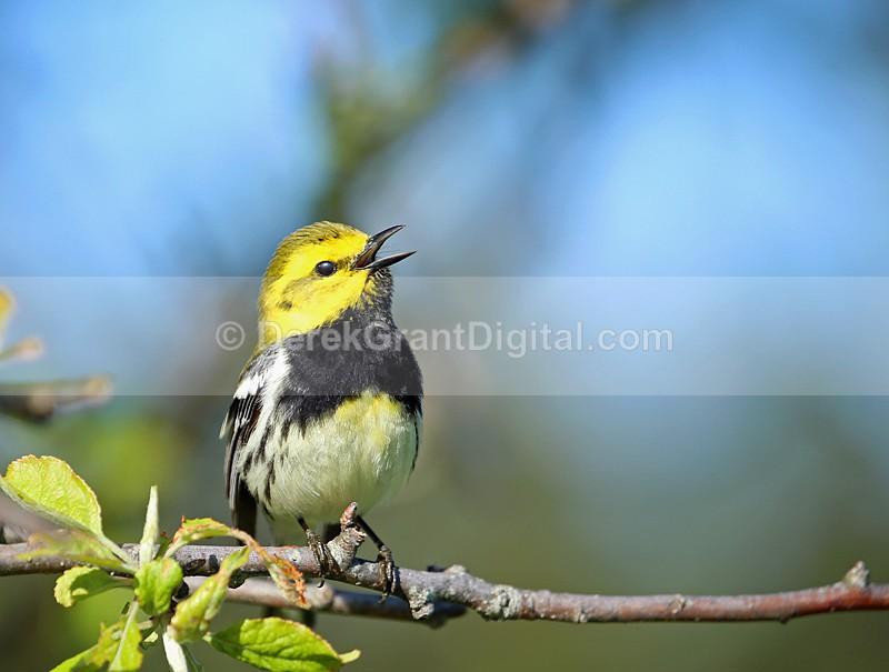 Setophaga virens male - Birds of Atlantic Canada