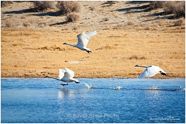 Tundra Swans - cleared for take off - Nevada Birds