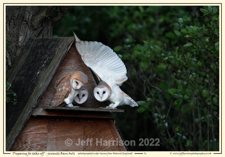 BO 003 - Barn Owls