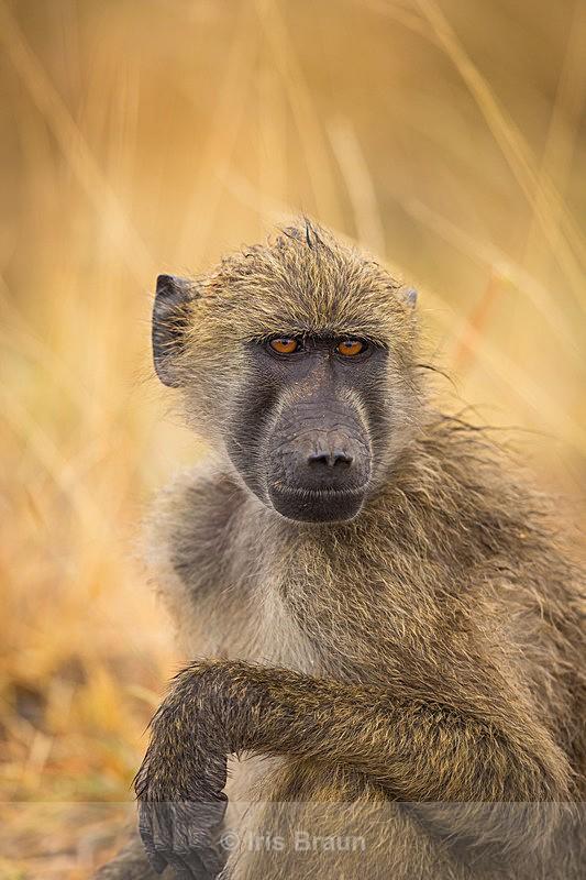 Der Denker - Baboon