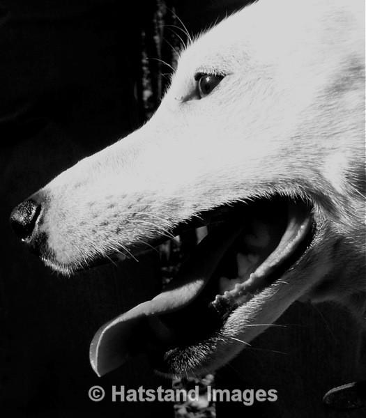 Wolf dog... - nature
