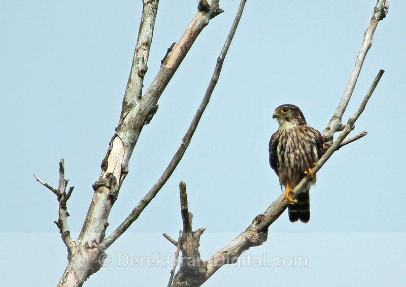 Falco columbarius - Birds of Atlantic Canada