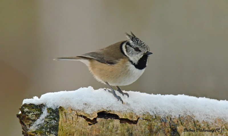 Crested Tit - Birds