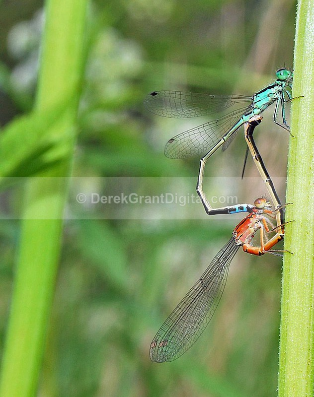 Eastern Forktail (mating wheel) - Dragonflies of Atlantic Canada