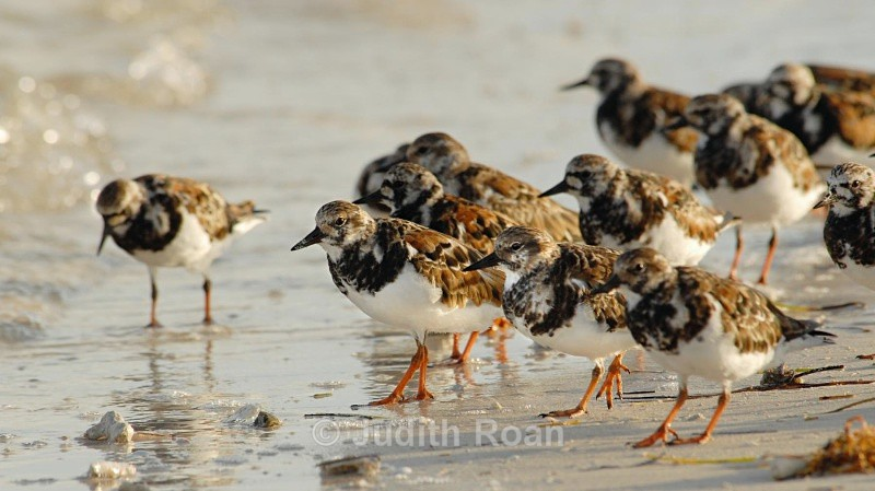 Ruddy Turnstones - Birds from Belize and Guatemala