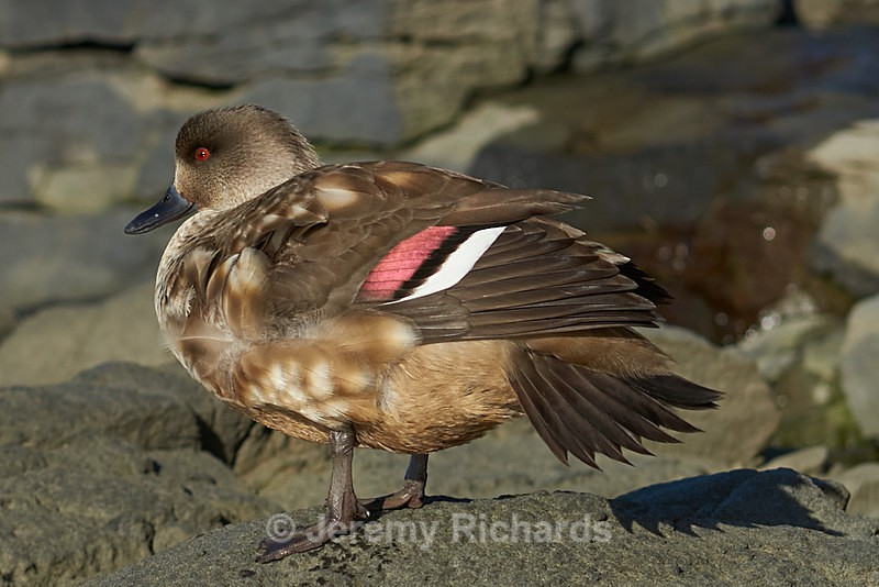 Crested Duck - Saunders Island