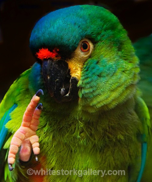 Military Macaw - Wildlife and Animals