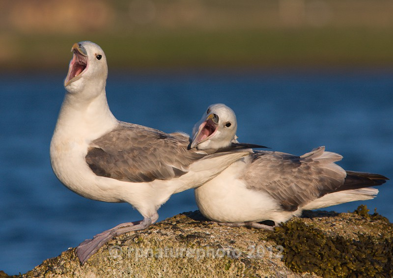 Fulmars - Fulmarus glacialis RPNP0104 - Birds