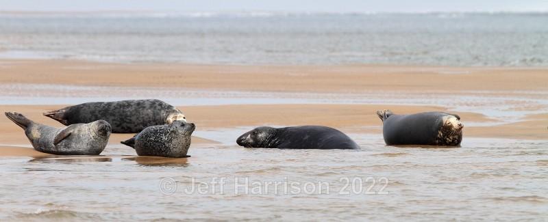 Grey & Common Seals (image Seals 01) - Mammals