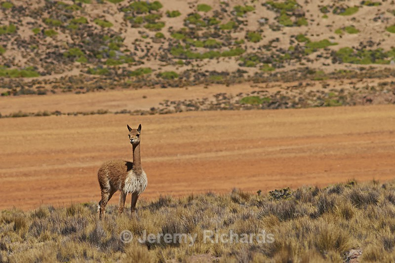 Vicuna on the Altiplano - Wildlife of Chile