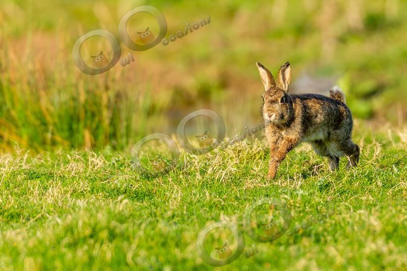 wild rabbit Oryctolagus cuniculus-8876 - UK Wildlife