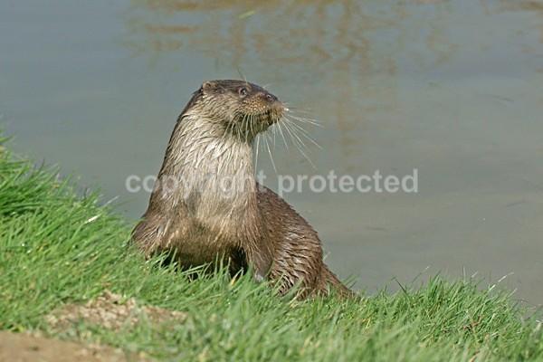 British Otter - Oscar (British Wildlife Centre) - British Wildlife