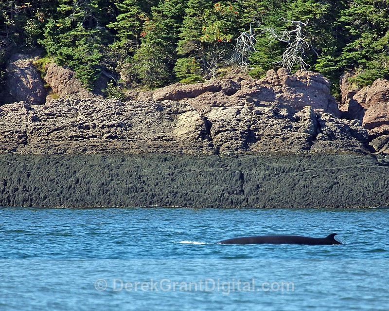 Minke Cameo - Bay of Fundy Whales
