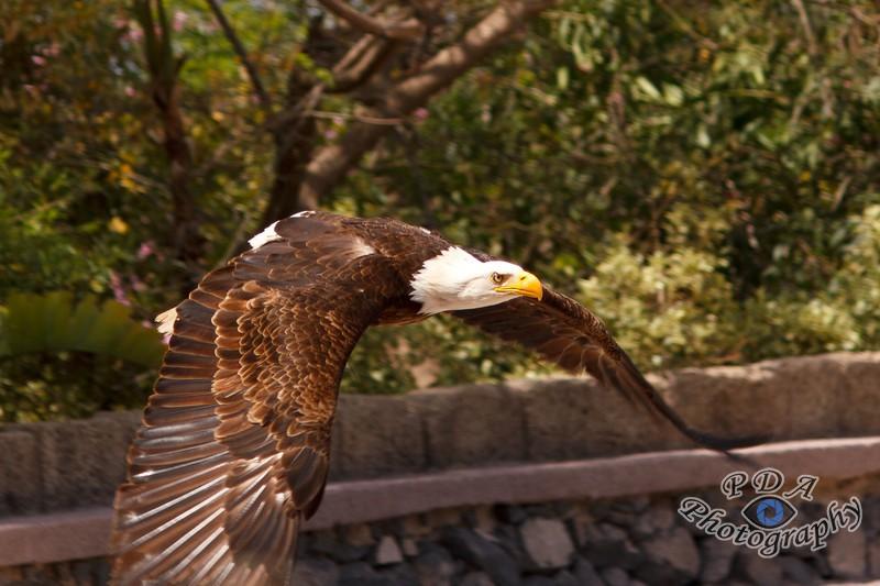 4 Bald Eagle