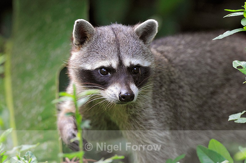 Escaped Northern Racoon at Asis Animal Rescue Centre - Racoon