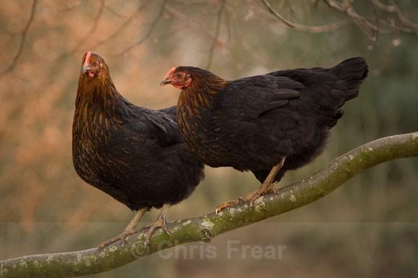 Tree Climbing Chickens - Animals/ Wildlife