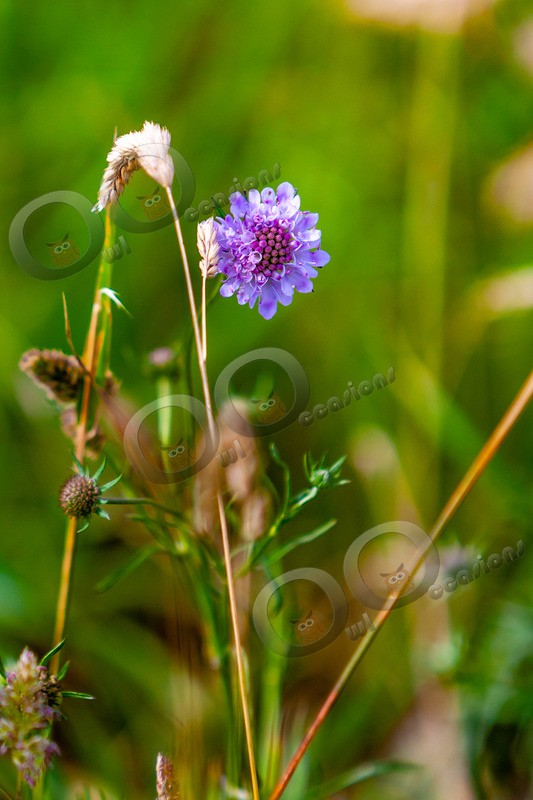 scabious-7291 - Plants and trees