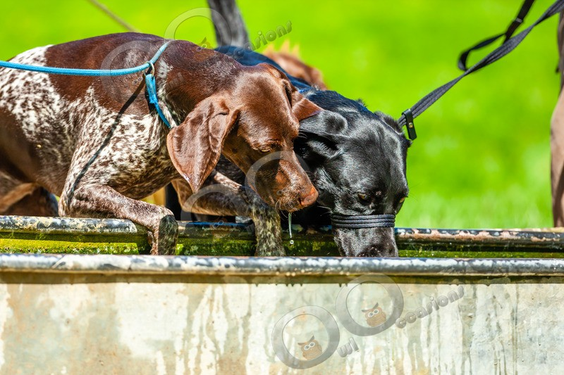 German Shorthaired Pointer_6156 - Pet Photography