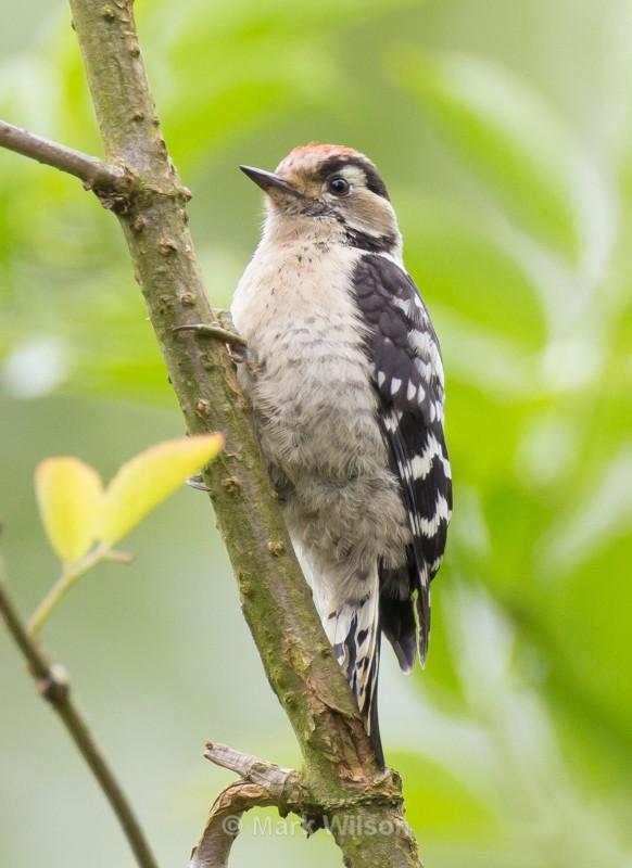 Lesser-spotted Woodpecker (juv) - Garden birds