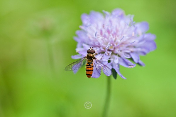 Scabious and hover fly - FLOWERS