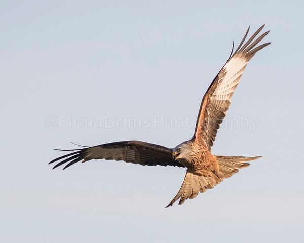 argaty jan -151 - Birds of Prey