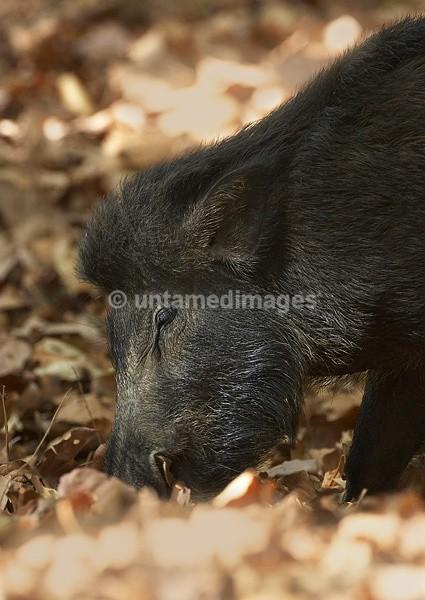 Wild boar - India