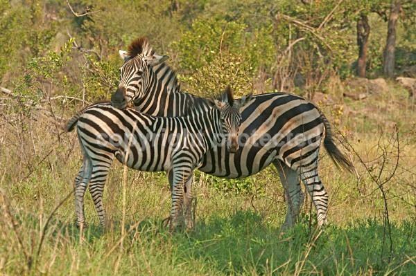Zebras - Krüger NP, South Africa - African Wildlife