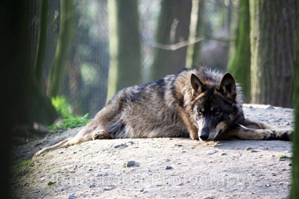 Lone Wolf Resting 3 - Wolves