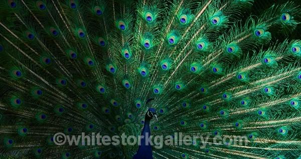 Peacock - Wildlife and Animals