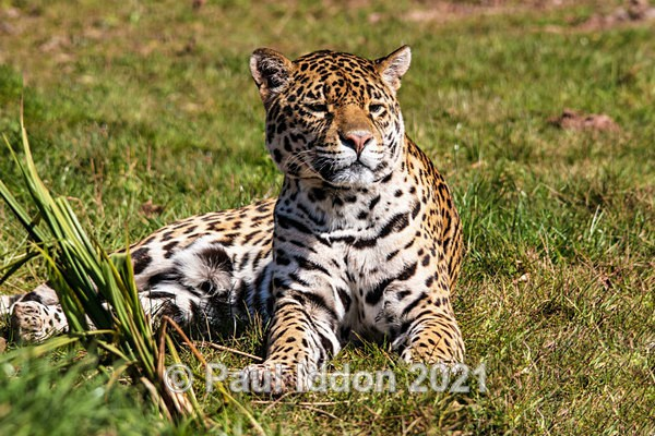 Jaguar 01 - Nature - Birds and Wildlife