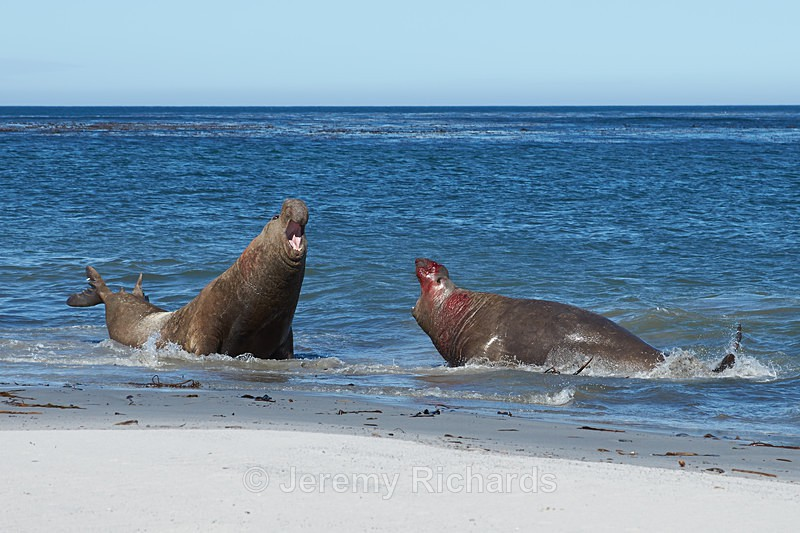 Male Elephant Seals Fighting - Sea Lion Island