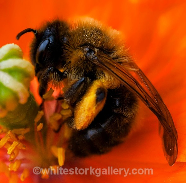 The Bee in the Poppy - Up Close !
