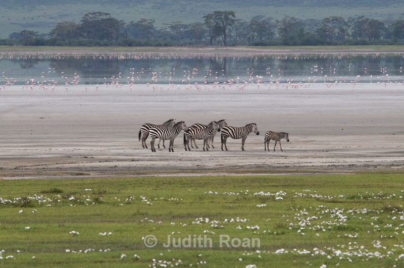Zebra with Lesser Flamingoes - Tanzania Birds and Mammals