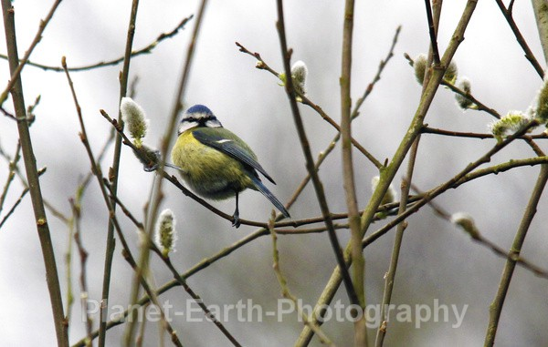 Blue Tit - UK Wildlife