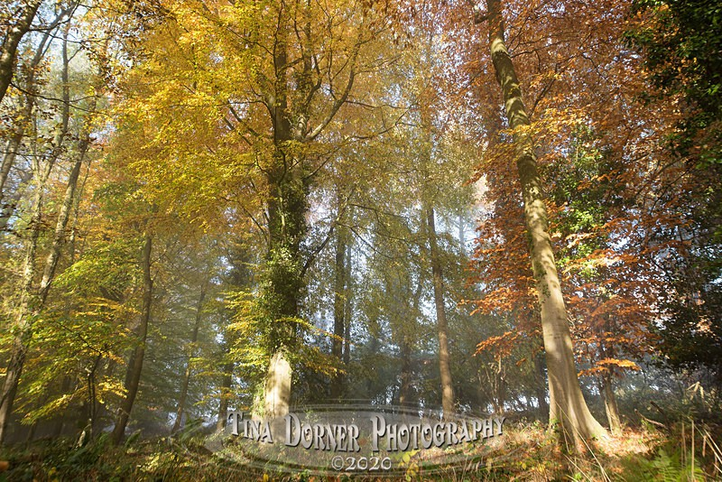 Misted Beech Trees. Autumn Forest of Dean. Tina Dorner Photography