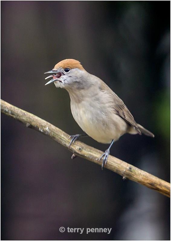 Blackcap - female - Birds
