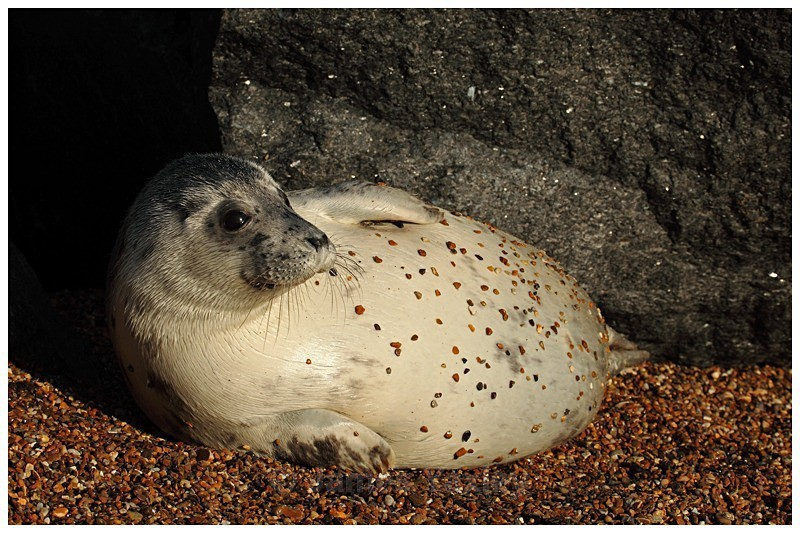 Pebble Dashed Seal - The British Wildlife Photography Awards 2009 to 2014