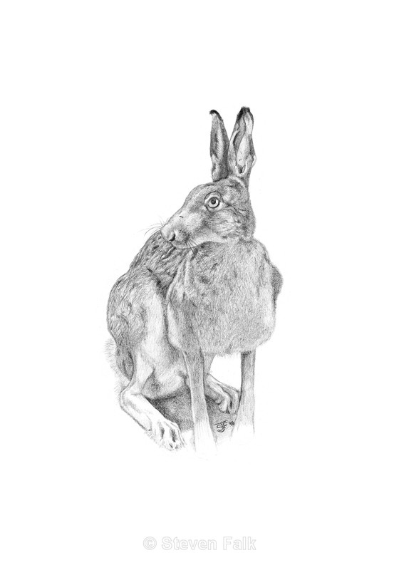 Brown Hare - Birds and Mammals
