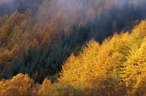 Conifer colour - Perthshire