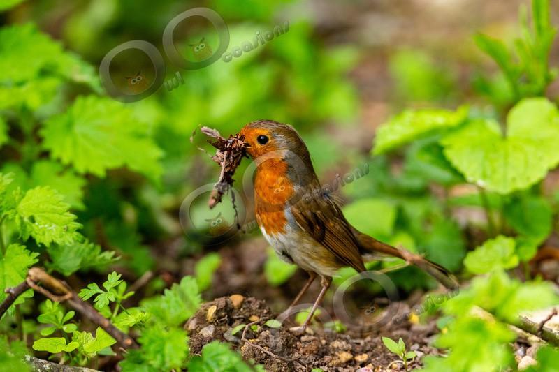 robin Erithacus rubecula-9769 - UK birds