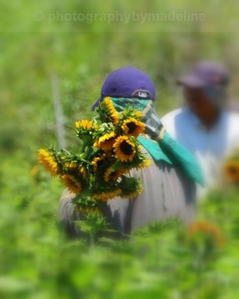 Sunflower workers 565011 - Flowers