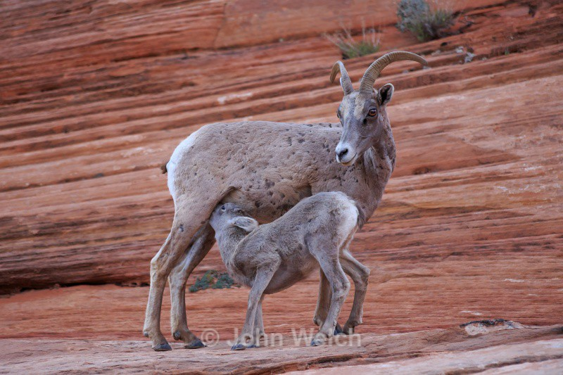 Bighorn Sheep Nursing - Utah