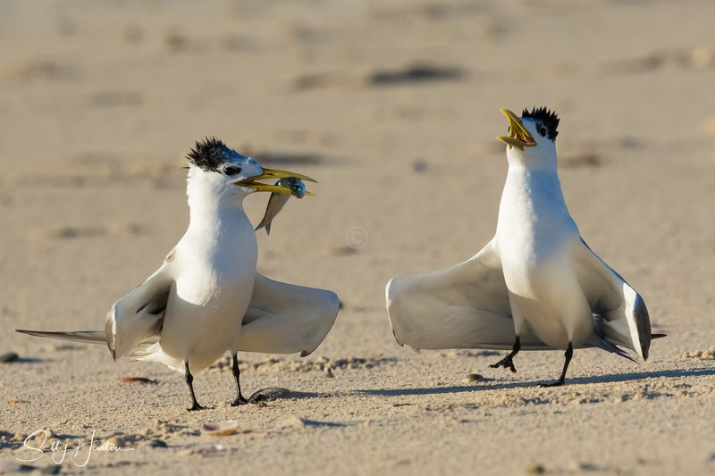 Love Dance 1 - Crested Terns 2018 (For Sale)