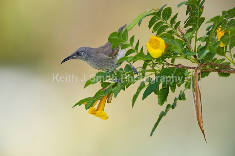 YR6M9758jpg - Honeyeater. Brown.