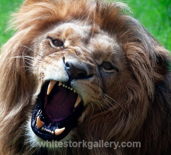Roar ! - Angola Lion - Wildlife and Animals
