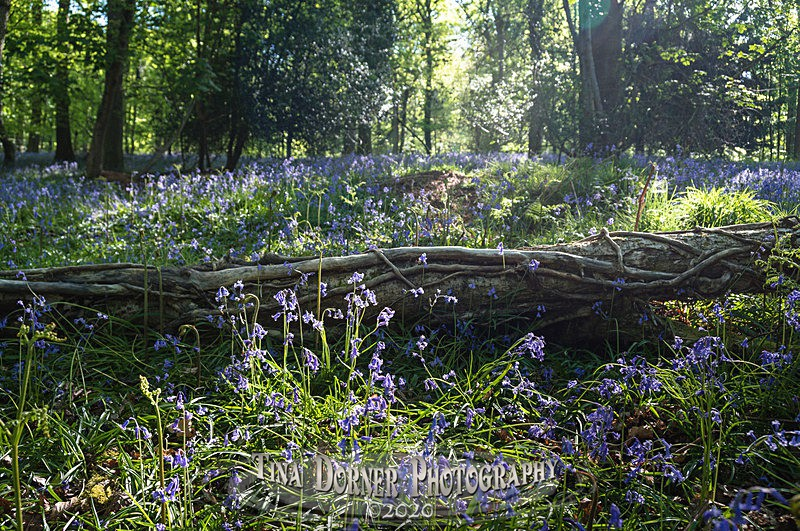 Morning Bluebell Log - Spring & Summer in The Forest of Dean & Wye Valley and BLUEBELLS!